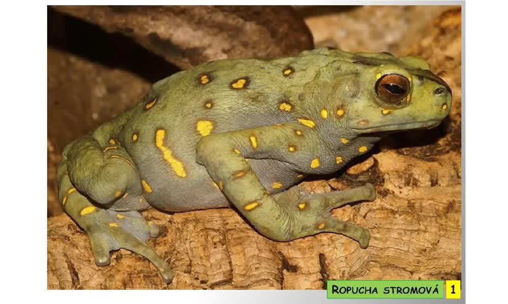 1. náhled výukového kurzu Bezocasí obojživelníci - žáby