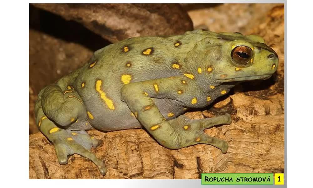 2. náhled výukového kurzu Bezocasí obojživelníci - žáby