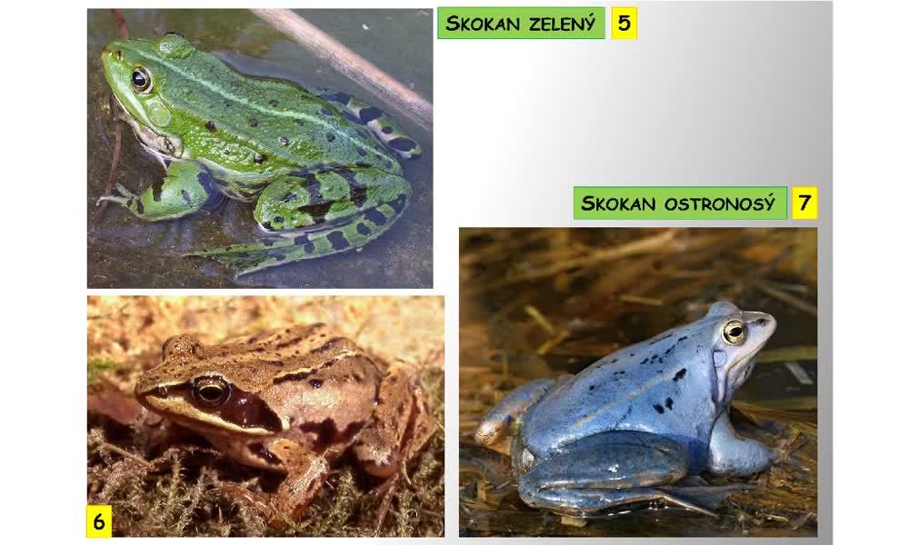 4. náhled výukového kurzu Bezocasí obojživelníci - žáby