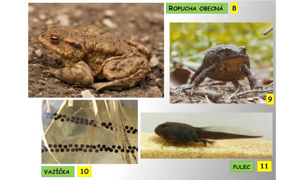 6. náhled výukového kurzu Bezocasí obojživelníci - žáby